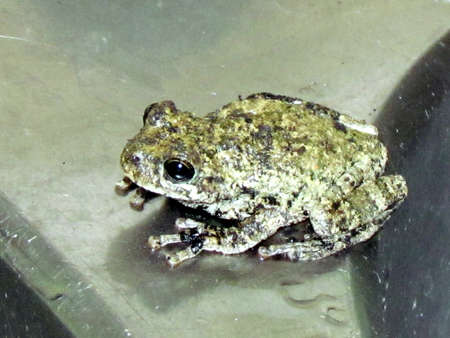 Small frog isolated in Mclean in Virginia near Washington                               Imagens