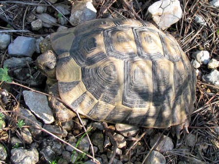 centenarian: Turtle on the rocks in Shoham forest park in Western Samaria, Israel