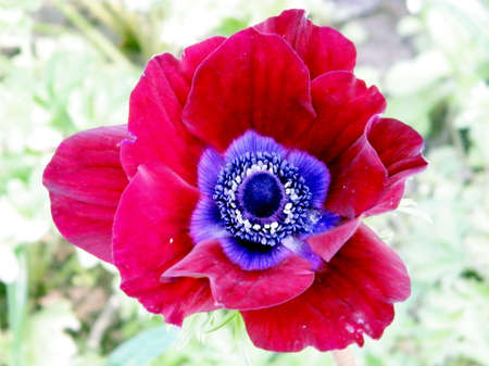 Red Crown Anemone isolated in park in Ramat Gan, Israel Banco de Imagens