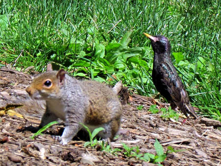 Squirrel and starling in Washington DC, USA Stock fotó - 33211115