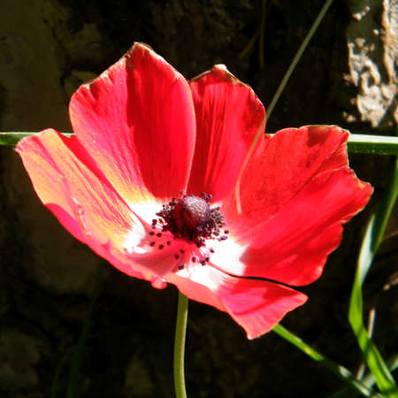 The Wild Red Crown Anemone isolated in winter in Shoham forest park, Israel