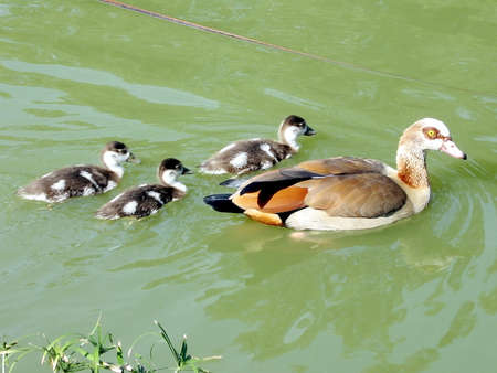 long legged: Mother Long Legged Duck and three ducklings in a pond of Ramat Gan Park, Israel
