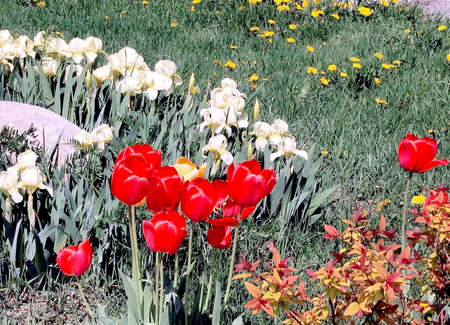 thornhill: Red tulips and white irises in Thornhill,Canada