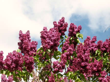 thornhill: Blossoming lilac in Thornhill, Canada