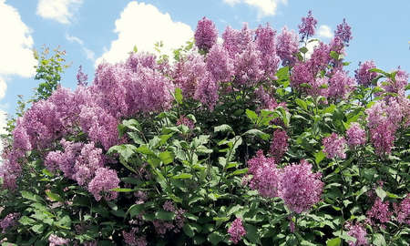 thornhill: Purple lilac branchs in Thornhill,Canada