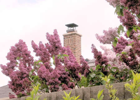 thornhill: Blossoming lilac in spring in Thornhill Ontario, Canada