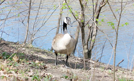 high park: Geese on Grenadier Pond bank in High Park, Toronto