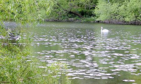 svan: Svan on Grenadier Pond in High Park,Toronto