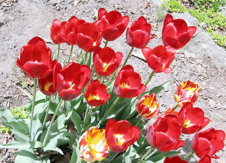 high park: Red tulips in High Park Toronto, Canada