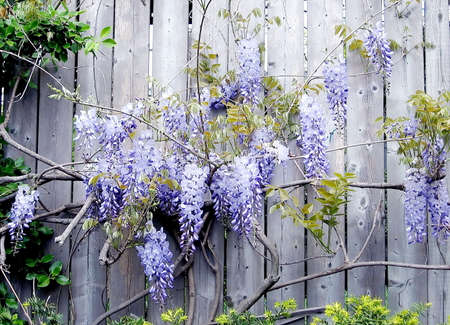 high park: Violet flowers on fence in High Park,Toronto Stock Photo