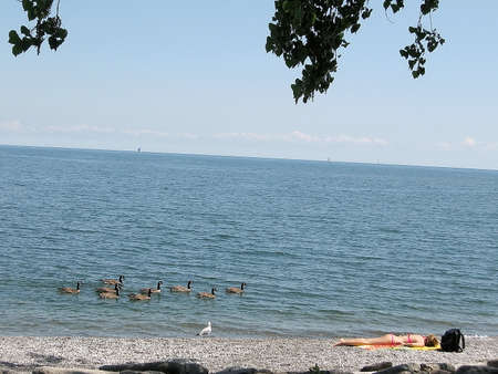 canadian geese: Flotilla of Canadian geese near plage on bank of lake Ontario in Toronto, Canada Stock Photo
