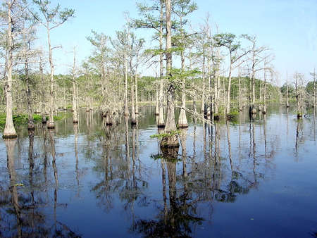 aligator: Reflection of cypress tree roots in Black Bayou near Mississippi, USA Stock Photo