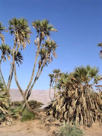 arava: The date palms in Arava desert near Eilat in Israel