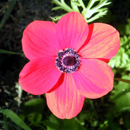 The Red Crown Anemone isolated in Shoham forest park, Israel