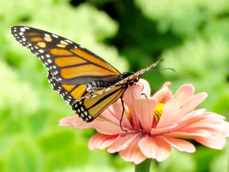 entomological: Monarch Butterfly on a pink flower in High Park of Toronto, Canada