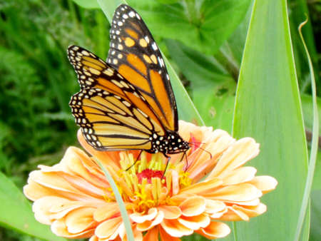 high park: Monarch Butterfly and  flower stamen in High Park of Toronto, Canada Archivio Fotografico