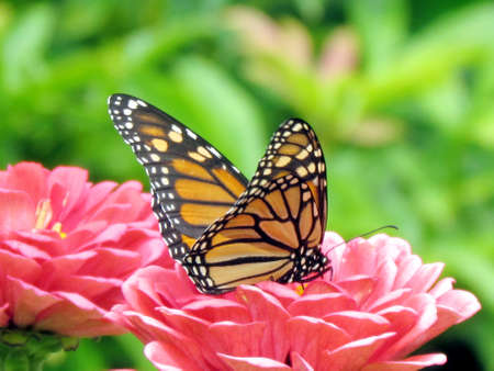 entomological: Monarch Butterfly on flowers in High Park of Toronto, Canada