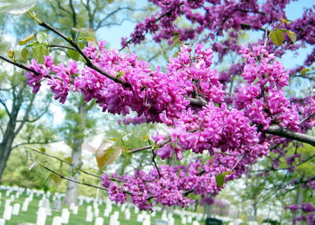 Blooming trees in the Arlington National Cemetery, Arlington Virginia USA Stok Fotoğraf