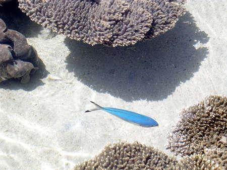 홍 해, 이스라엘의 해 안에 Eilat 해양 수족관에서 파란색 작은 물고기