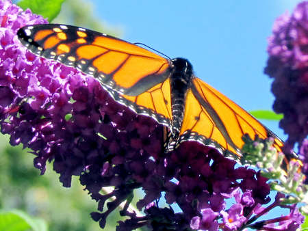 entomological: Beautiful Monarch Butterfly on a flower in High Park of Toronto, Canada