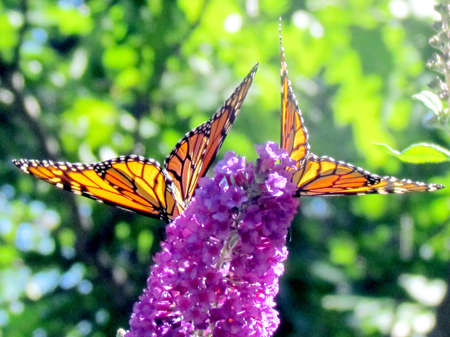 high park: Two Monarch Butterflies on a flower in High Park of Toronto, Canada Stock Photo