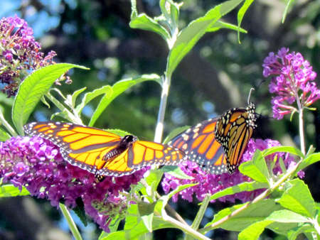 high park: Two Monarch Butterflies in High Park of Toronto, Canada Stock Photo