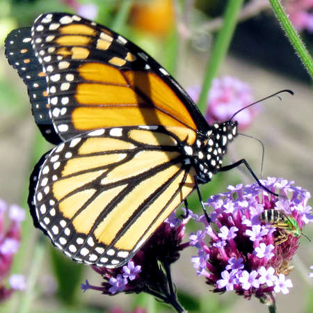 high park: Monarch Butterfly on a flower in High Park of Toronto, Canada
