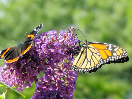admiral: Red Admiral and Monarch butterflies on a flower in High Park of Toronto, Canada Stock Photo
