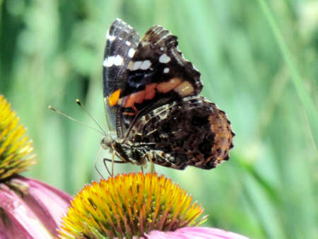 admiral: Red Admiral Butterfly in High Park of Toronto, Canada Stock Photo