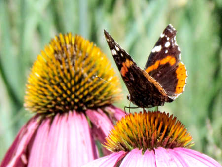 admiral: Red Admiral Butterfly on a flower in High Park of Toronto, Canada