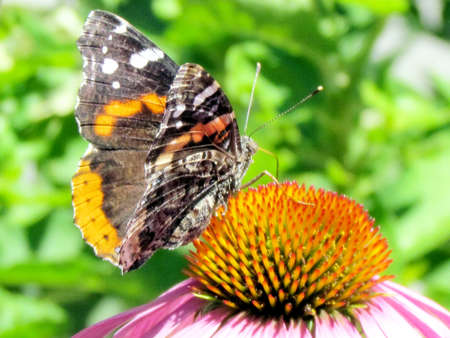 admiral: Tthe Red Admiral Butterfly on a flower in High Park of Toronto, Canada Stock Photo
