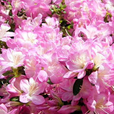 national military cemetery: Flower of Sakura tree in the Arlington National Cemetery, Arlington Virginia USA