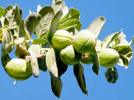 gedi: Sodom apples in Ein Gedi on Dead Sea coast, Israel