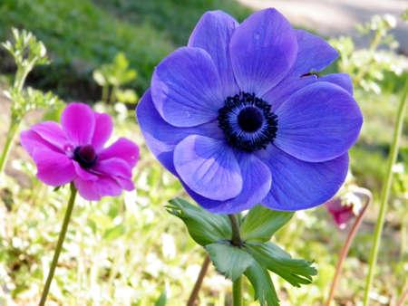 Beautiful Crown Anemone flowers in park in Ramat Gan, Israel Banco de Imagens