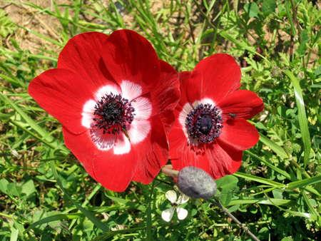 The beautiful red Crown Anemones in park in Ramat Gan, Israel