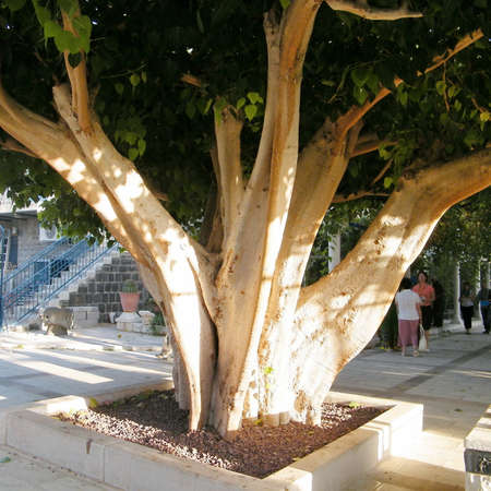 Ficus religiosa in the yard of Greek Orthodox Church of the Seven Apostles in Kapernaum on the shores of Sea of Galilee in northern Israel Editöryel