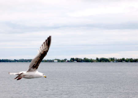 kingston: Gull in flight over the Lake Ontario in Kingston, Canada