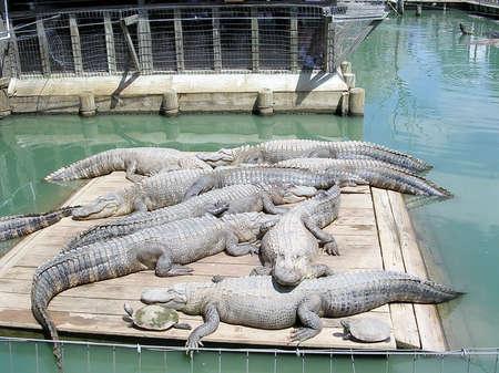 alligators: Alligators in Alligator Park near Monroe USA