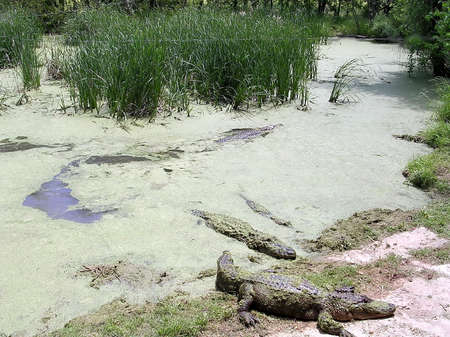 alligators: Alligators on bank of pond in Alligator Park near Monroe USA Stock Photo