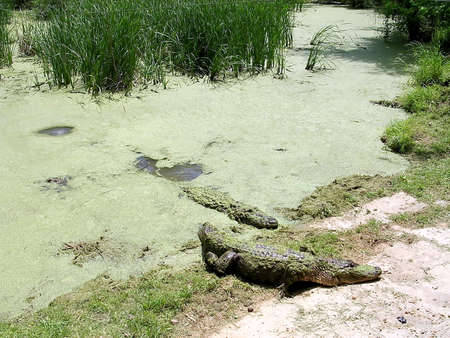 alligators: Alligators on beach in Alligator Park near Monroe USA