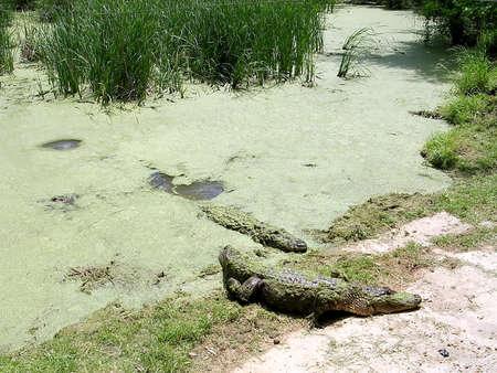 alligators: Alligators on beach in Alligator Park near Monroe USA