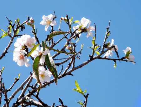 almond bud: Almond tree Blossoms in Neve Monosson near Or Yehuda, Israel