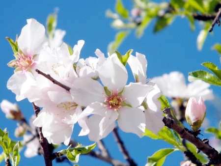 almond bud: Flower branch of Almond tree in Neve Monosson near Or Yehuda, Israel Stock Photo