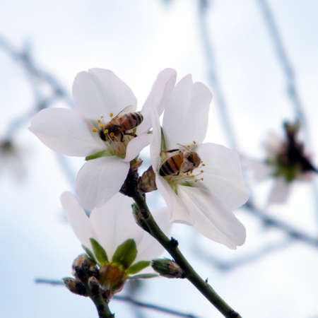 almond bud: Two bees on a Almond tree in Neve Monosson near Or Yehuda, Israel Stock Photo