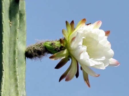 Cactus flower in Neve Monosson near Or Yehuda, Israel