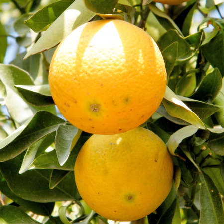 citrus plant: Two Oranges on Citrus plant in Neve Monosson near Or Yehuda, Israel