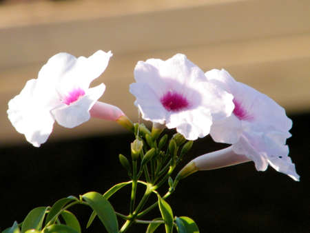 Fagraea flowers in Neve Monosson near Or Yehuda, Israel