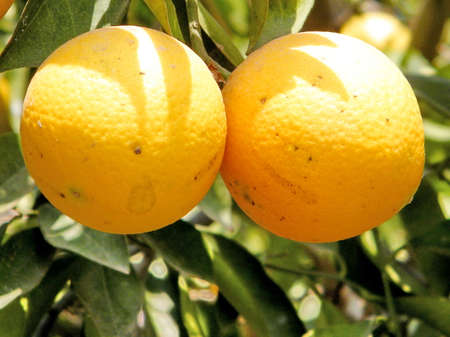 plant antioxidants: Mature Oranges on Citrus plant in Neve Monosson near Or Yehuda, Israel Stock Photo