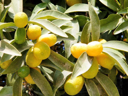 citrus plant: Mature small lemons growing on Citrus plant in Neve Monosson near Or Yehuda, Israel