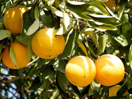 citrus plant: Mature Oranges growing on Citrus plant in Neve Monosson near Or Yehuda, Israel